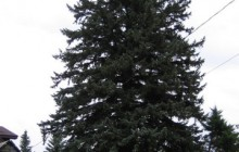 Iron River tree to be state's 2013 Christmas Tree