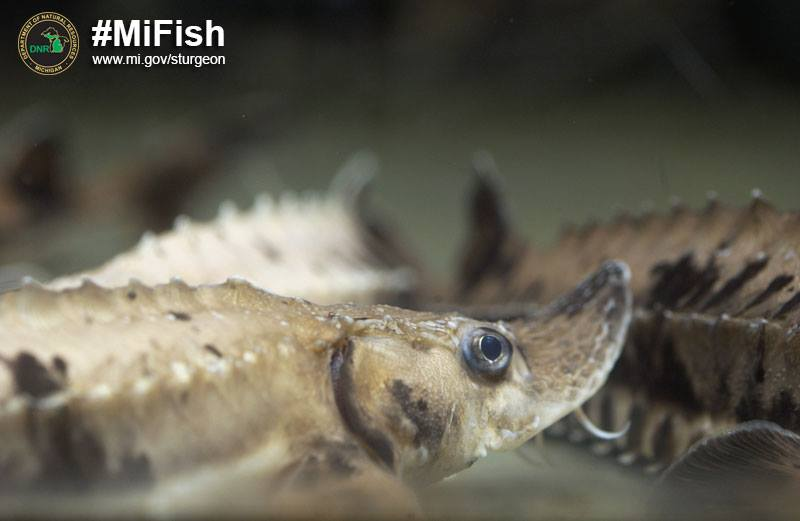 DNR releases nearly 6,000 lake sturgeon in Michigan waters