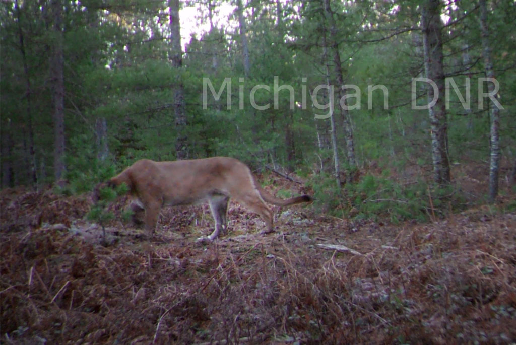 DNR confirms cougar photos taken in eastern Upper Peninsula