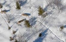 DNR wildlife biologists conducting U.P. wolf survey