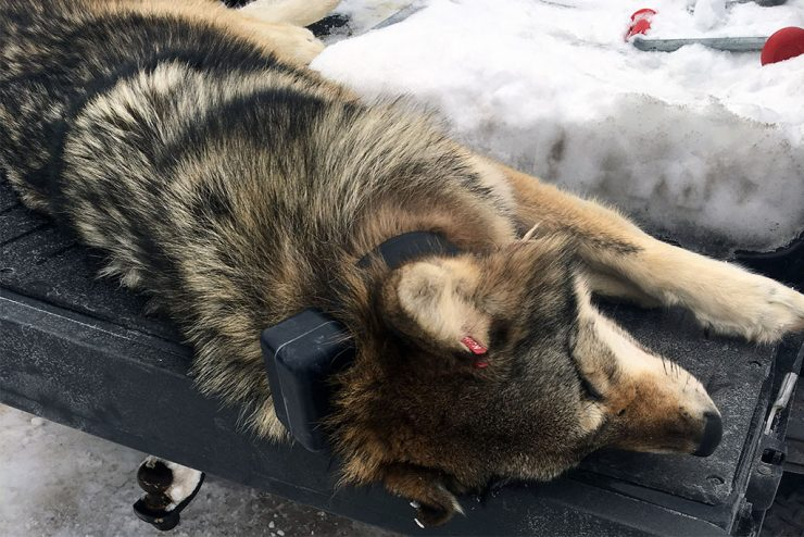 DNR resolves two U.P. wolf poaching incidents
