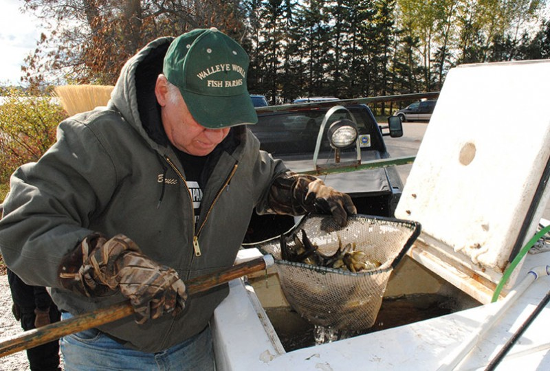 Walleye Restoration Project