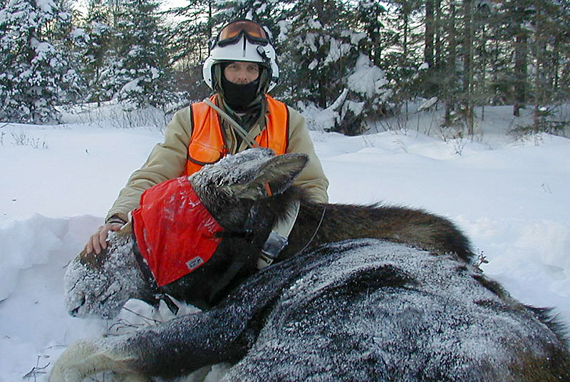 Dean Beyer, DNR moose expert, poses with a captured moose during a population study in the Upper Peninsula. Beyer says the U.P. moose population is growing at a slower rate.