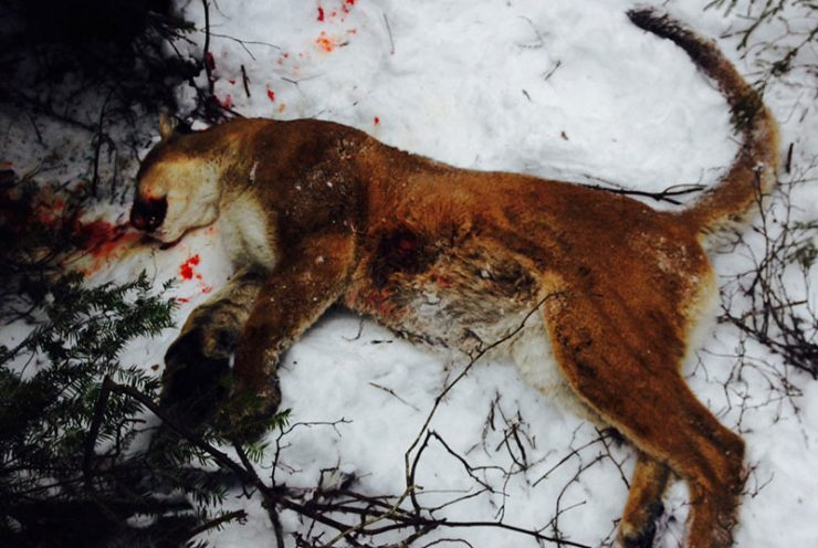 Two of three suspects plead guilty in killing of cougar in Schoolcraft County