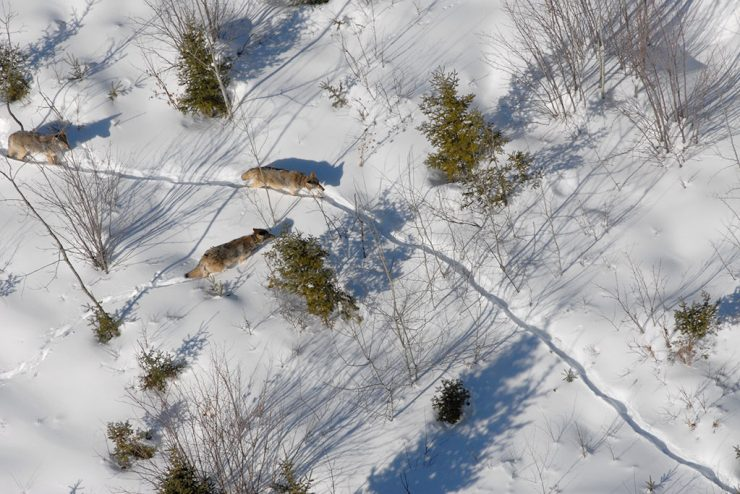 DNR wildlife biologists conducting U.P. wolf survey