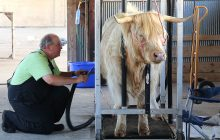 Fairgoers at U.P. State Fair attracted to Highland Cattle hair