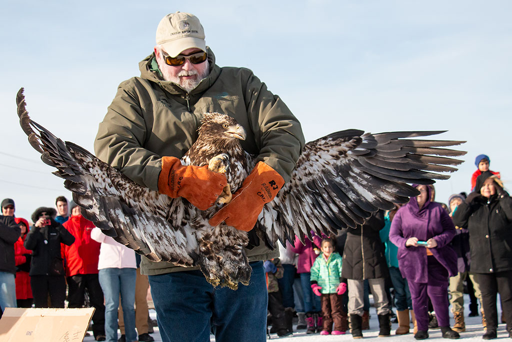 Immature eagle takes flight after lead poisoning rehab